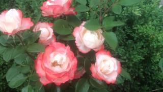 Чайно-гибридная роза Ностальжи Nоstalgie от Tantau Германия.