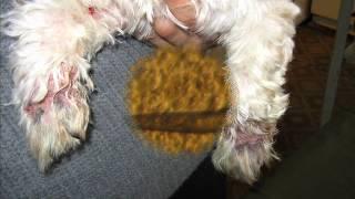 Демодекоз у собаки ( Demodex injai) клинический случай Запорожье(, 2015-02-08T17:28:08.000Z)