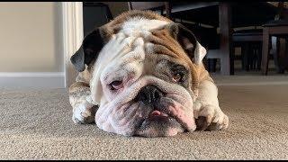 Reuben the Bulldog: Living With Bulldogs  TIP #89