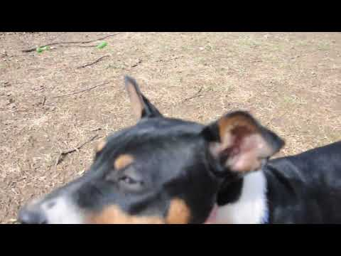 Rescue Pups - Decker Rat Terriers - 4 Months Old Plus 1 Yr Mom
