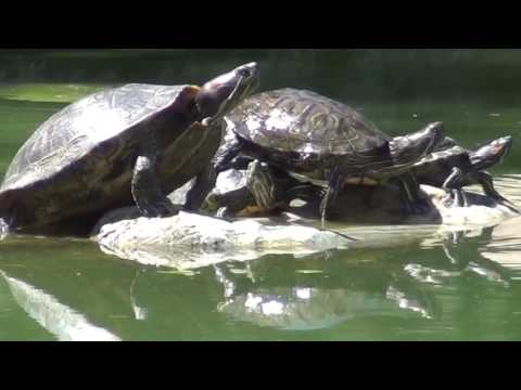 North American Wildlife --- Turtle (Red-Eared Slider) At Centennial Regional Park
