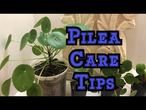 How to Grow Pilea pepermioides: How much is to much light, water and humidity