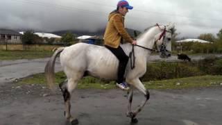 pankisi الخيول العربية arabian horse არაბული ცხენი ჩანჩქერი