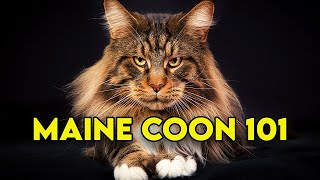 Maine Coon Cat 101 - Watch This Before Getting One (Full Guide)