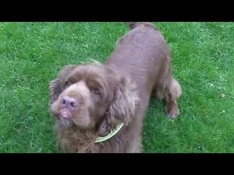 Hudson Sussex Spaniel mooching.