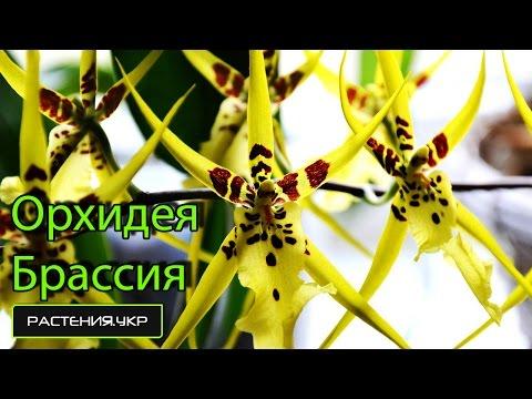 Виды орхидей / Брассия