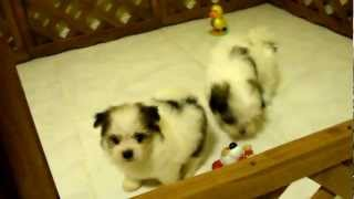 My Maltipom (maltese & Pomeranian Mix) Snowwhite, Phantom, And Boo Playing With Toys