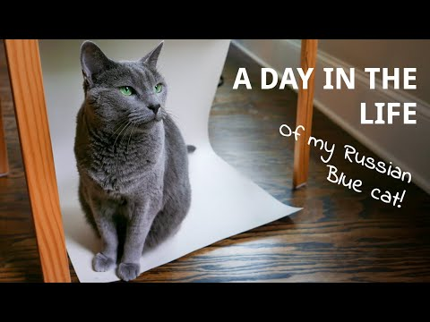 A Day in the Life of Murka, my Russian Blue Cat