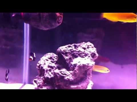 How To - Lyretail Anthias Pt.1