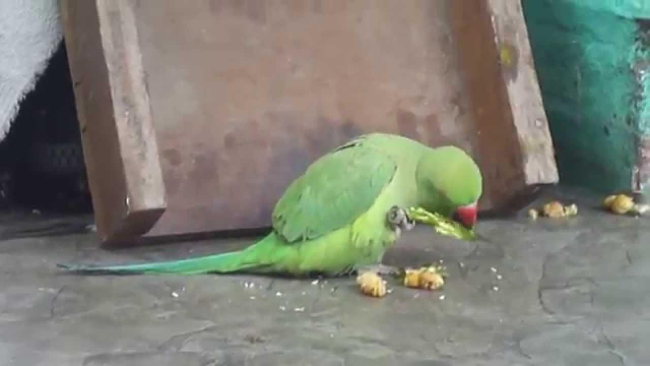 R G Parrott Ltd Parrot eating a chilli...