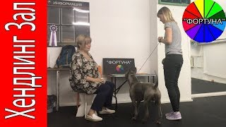 Подготовка Владельца Тайского Риджбека к Показу Собаки на Выставке
