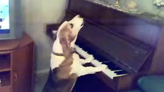 Standing Dog Plays Piano and Sings