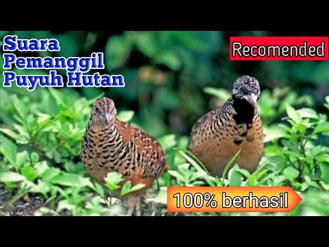 Download Suara Burung Puyuh Mp3 5 6 Mb Kicau Siburung Com