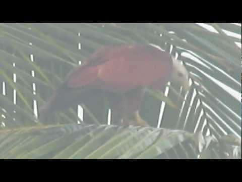BIRDS OF GOA: THE BRAHMINY KITE, HALIASTUR INDUS