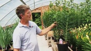 Lily Varieties - Rose-Hill Gardens Video Series Episode Seven