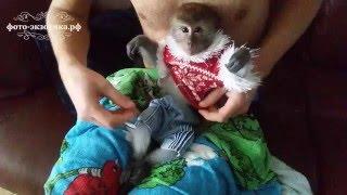 Домашняя обезьянка.  Одеваем обезьянке памперс