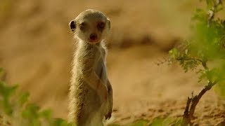 Secret meerkat pups life below ground - Animals with Cameras - Earth Unplugged