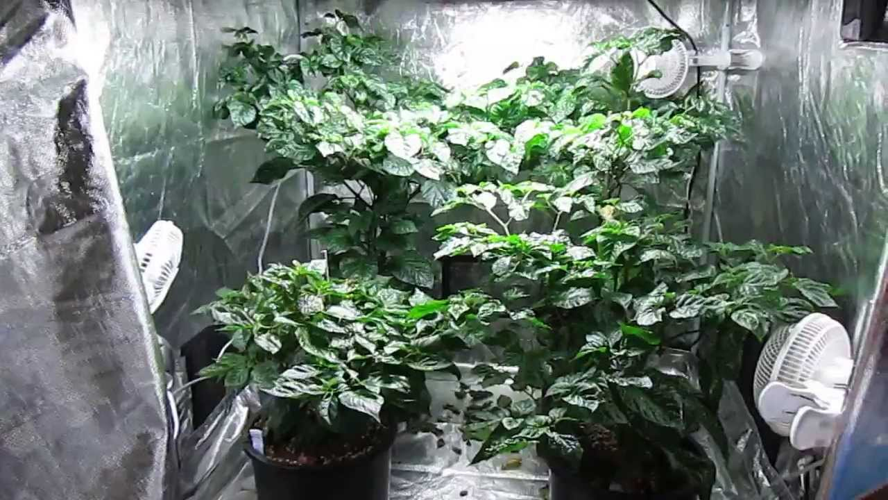 Indoor Grow Tent Trinidad Moruga Scorpions Youtube