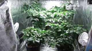 Indoor Grow Tent: Trinidad Moruga Scorpions