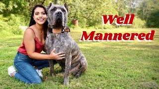 This is How I Taught My Cane Corso to Be Respectful