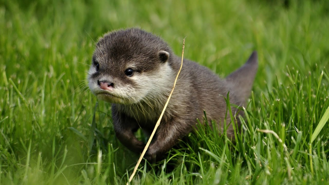Cute Pets Wallpapers Hd Ah Baby Otter Otter Beauty Business For A Walk Youtube