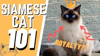 The Siamese Cat 101 : Breed & Personality