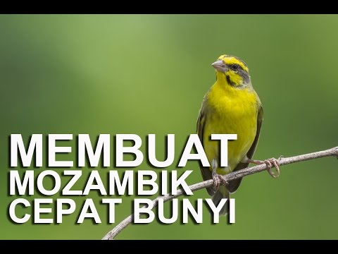 Burung Mozambik jadi cepat Bunyi (Mendengarkan suara burung Mozambik Betina) Serinus mozambicus