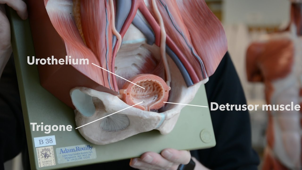 Bladder Anatomy - YouTube