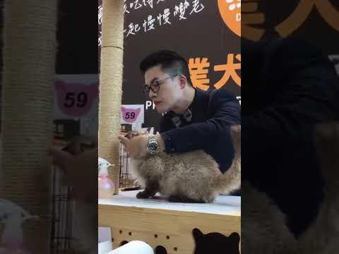 2017CFA貓展  拉波捲毛貓  Laperm cat