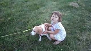 Самая веселая собака! Бигль - охотничья порода. Funny dog. Kate BY.