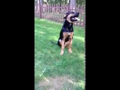 6 Month Old German Shepherd Hound Mix Nelson Puppy Pushups Youtube