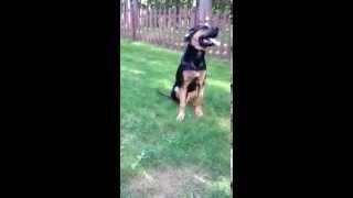 "6 Month Old German Shepherd / Hound Mix ""nelson"" Puppy Pushups"