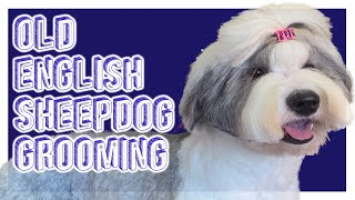 2020 Best English sheepdog how to groom in a long teddy bear. Easy to follow stepbystep tutorial.