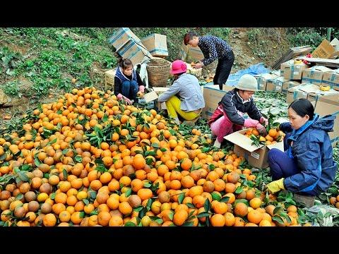Vị cam ngọt cuối mùa: Cam Hàm Yên không có chất bảo quản