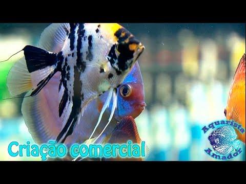 Criação comercial de peixes ornamentais