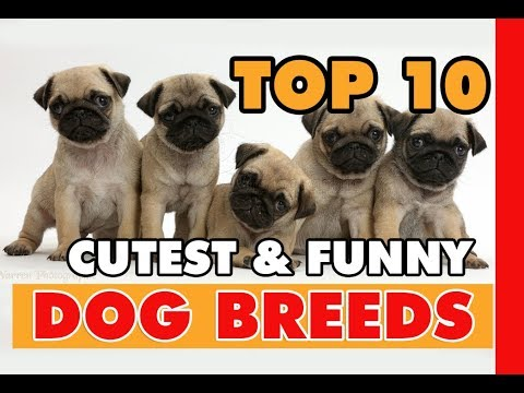 TOP 10 CUTEST AND FUNNY DOG BREEDS