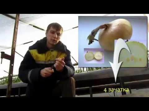 Cмотреть видео онлайн Мини-курс Выращивание зеленого лука (Часть 1)