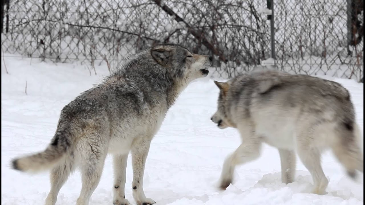 gray wolves howling parc omega youtube. Black Bedroom Furniture Sets. Home Design Ideas