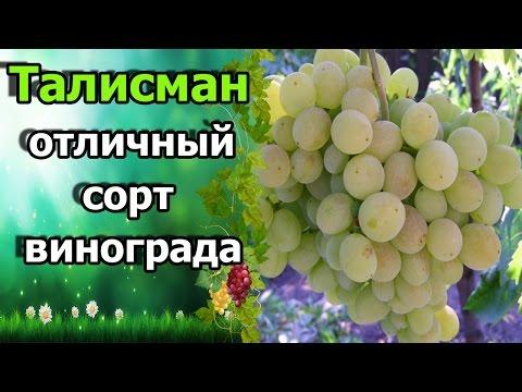 🍇В защиту сорта винограда «Талисман». Отзыв о сорте Талисман (Кеша 1).