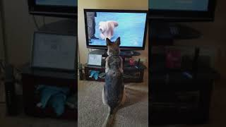 Ruby Roo watching dog show