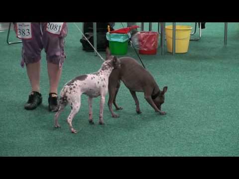 American Hairless terrier:  International Dog show Bratislava 15/05/2010