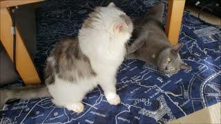 襲い掛かるまでの『間』が長い白モフ猫