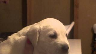 Pure-bred White & Yellow Akc Labs- Available Valentines Day! Labrador Retrievers 20110118223517.m2ts