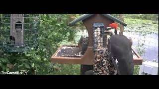 Pileated Woodpecker Dominates Feeder, August 10, 2015