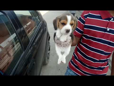 Beagle pups show quality for sale in mumbai rs 18000 male n 15000 female 9671116765 same quality