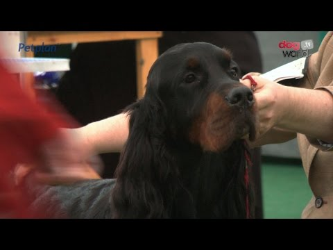 Darlington Dog Show 2015 - Gundog Shortlist