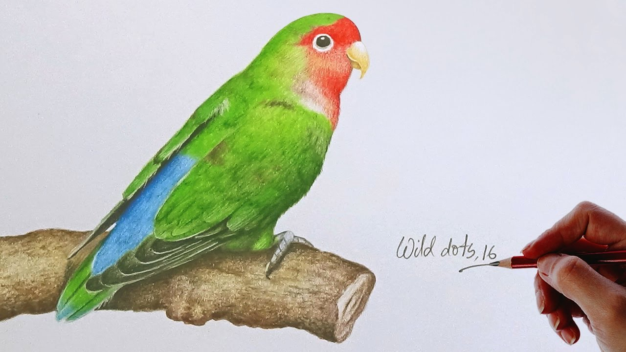 Love bird drawing a love bird with colored pencils youtube