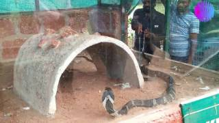 The King Cobra eating big snakes
