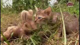 Порода кошек Саванна