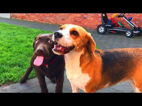 Cute Chocolate Lab Puppy Vs Beagles